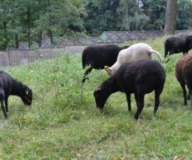 Les noms des moutons !